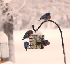 March 5, 2015 Bluebirds at the feeder.