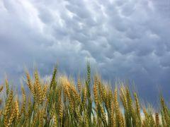 Wheat Mammatus