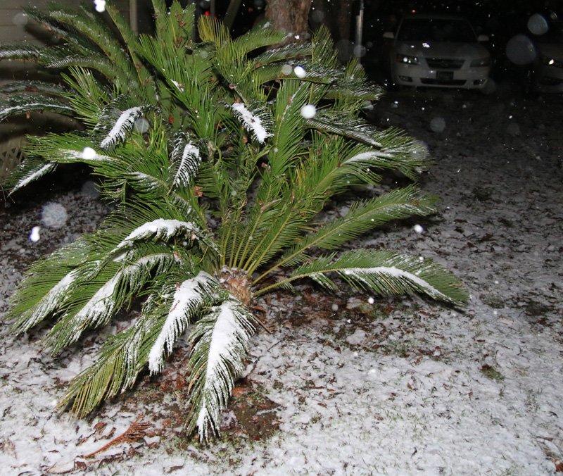 Sago snow.jpg