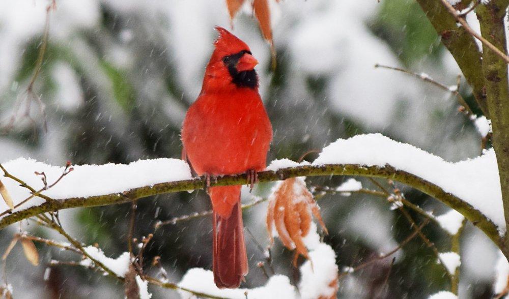Cardinal1218.JPG