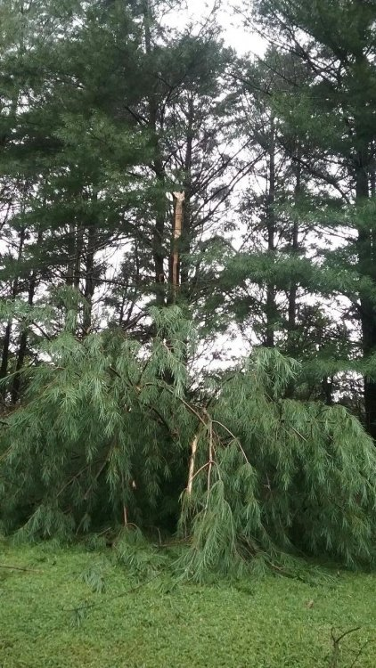Resized_pine tree 09.jpeg
